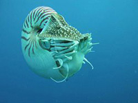 nautilus fibonacci sequence in nature